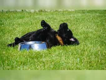 Labrador Welpen Braun Kleinanzeigen Kaufen Verkaufen Bei Deinetierwelt