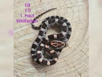 Kornnatter Wildfarbe Hypo NZ 2020