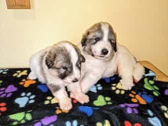 Pyrenaen Schaferhund Welpen Im Tiermarkt Von Deinetierwelt