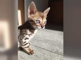 Bengal Kitten Kätzchen reinrassig mit