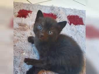 BKH MIX Kätzchen schwarz männlich