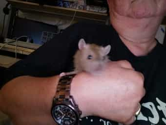 Ratten Babys Jungtiere verschiedene Arten
