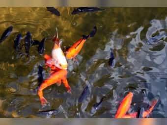 Goldfische aus dem Gartenteich suchen
