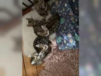 Reinrassige Bengal-Kitten mit Stammbaum