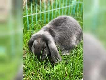 Kleinwidder Kaninchen Hase männlich ca
