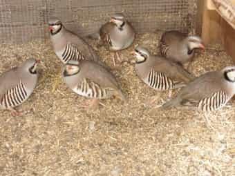 Steinhühner Keklik