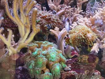 Viele Bäumchenweichkorallen teilweiße auf großen