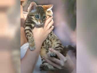 Bengal Kater Katze Kitten mit