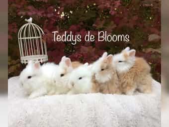 Kuschelige Herbst-Edition Teddy-Zwergkaninchen Teddyzwerg-Kaninchen