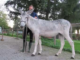 Andalusische Eselstute zwei Jahre alt