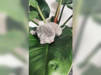 BKH Kitten in Lilac und