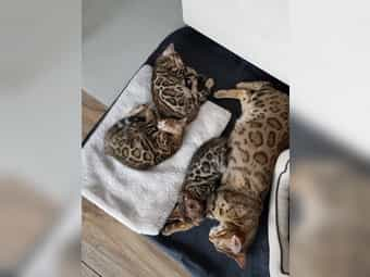 Bengal Kitten brown black spotted