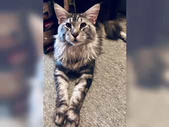 Maine Coon Deckkater HADES in