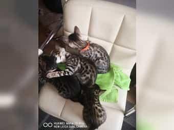 Bengal kitten Kätzchen mit Zuchtpapieren