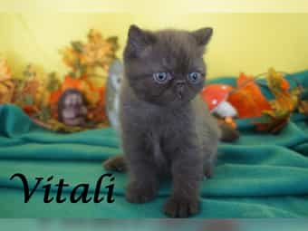 Exotic Shorthair und Perser in