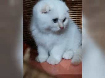 BKH Kitten Babies Knick Ohr