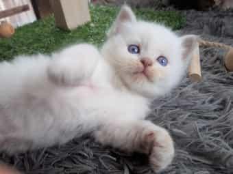 Traumhaftes Edelmix Kätzchen Sibirische Waldkatze