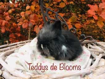Knuffiger kleiner Prinz Teddyzwerge-Kaninchen Teddy-Zwergkaninchen