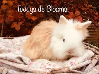 Ein Sunnyboy Teddyzwerg-Kaninchen Teddy-Zwergkaninchen