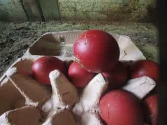 Bruteier Eier von französischen Marans