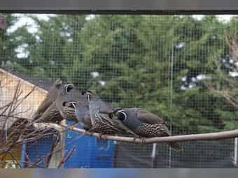 Kalifornische Schopfwachteln Wachteln Schopfwachtel