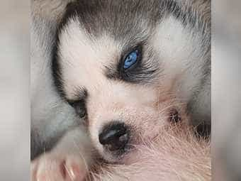 Welpen Wolfshund Kleinanzeigen Kaufen Verkaufen Bei Deinetierwelt