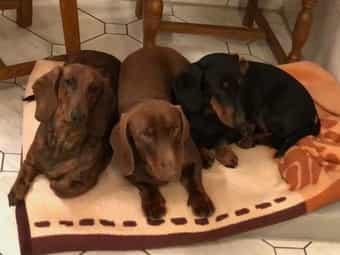 Dackel Hund Kleinanzeigen Kaufen Verkaufen Bei Deinetierwelt