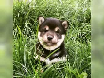 Shiba Inu Welpen Im Tiermarkt Von Deinetierwelt