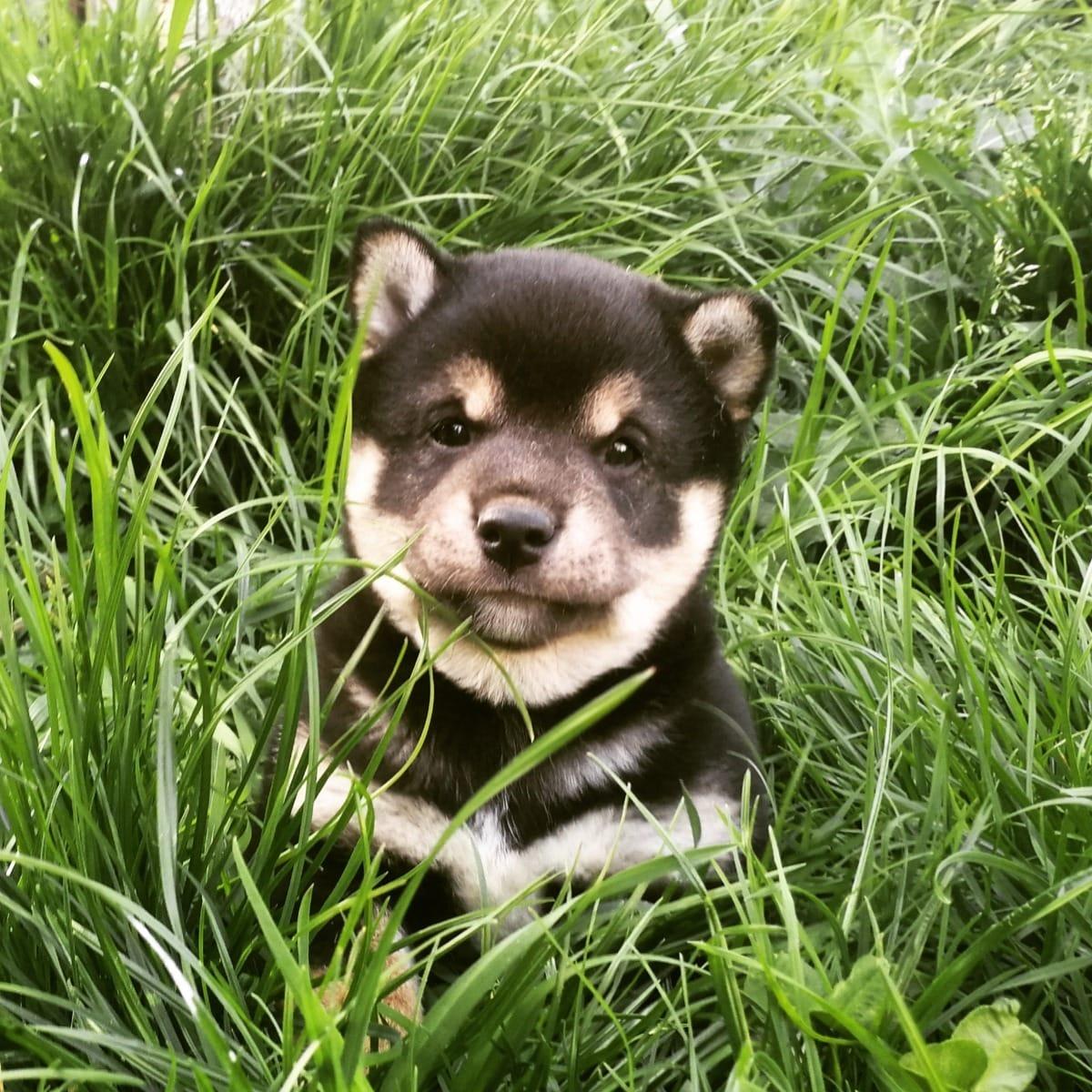 Shiba Inu Welpen Espelkamp Shiba Inu Deine Tierwelt De