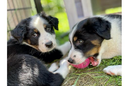 Frauen Mädchen Kapuzenpullover Australian Shepherd BOSS hunde dogs welpe zucht
