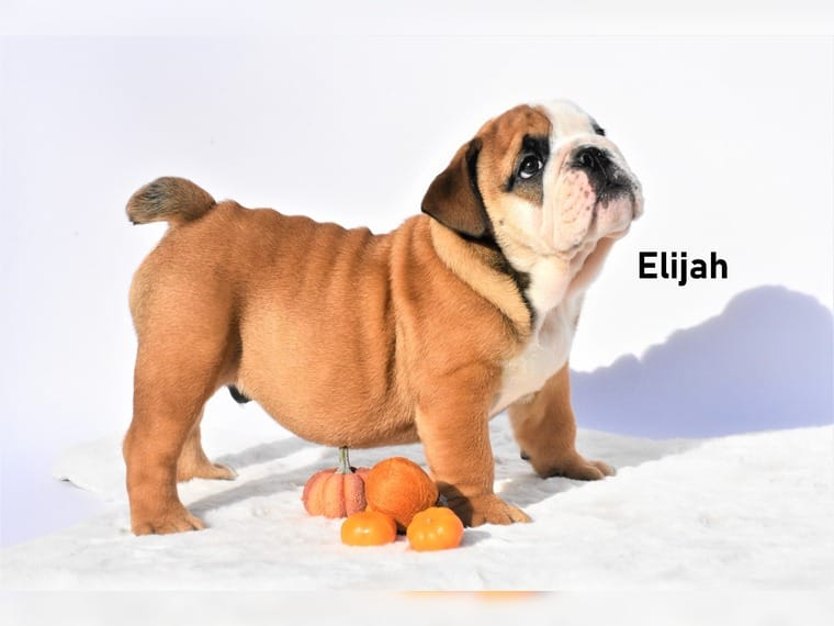 Englisch Bulldog Welpen FCI Papiere