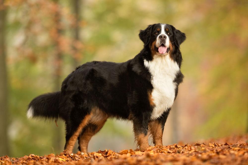 Berner Sennenhunde Im Rasseportrat Deine Tierwelt