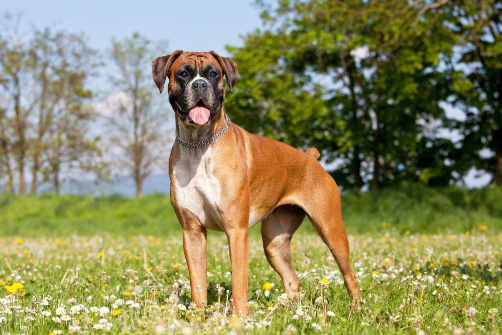 Rasseportrait Boxer Charakter Eigenschaften Deine Tierweltde