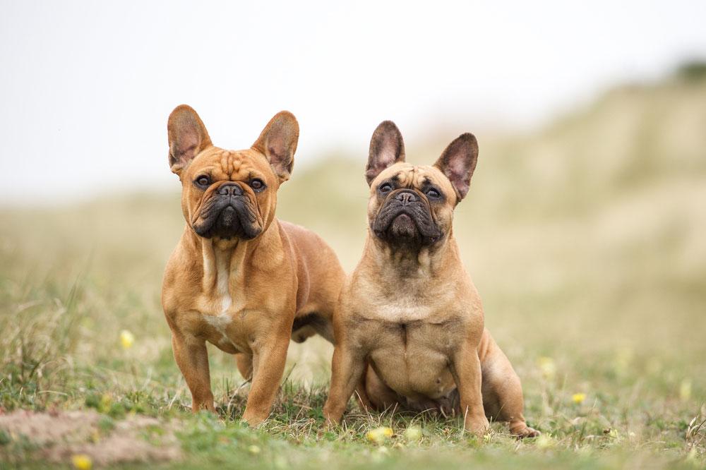 Französische Bulldogge Wissenswertes über Die Rasse Deinetierwelt