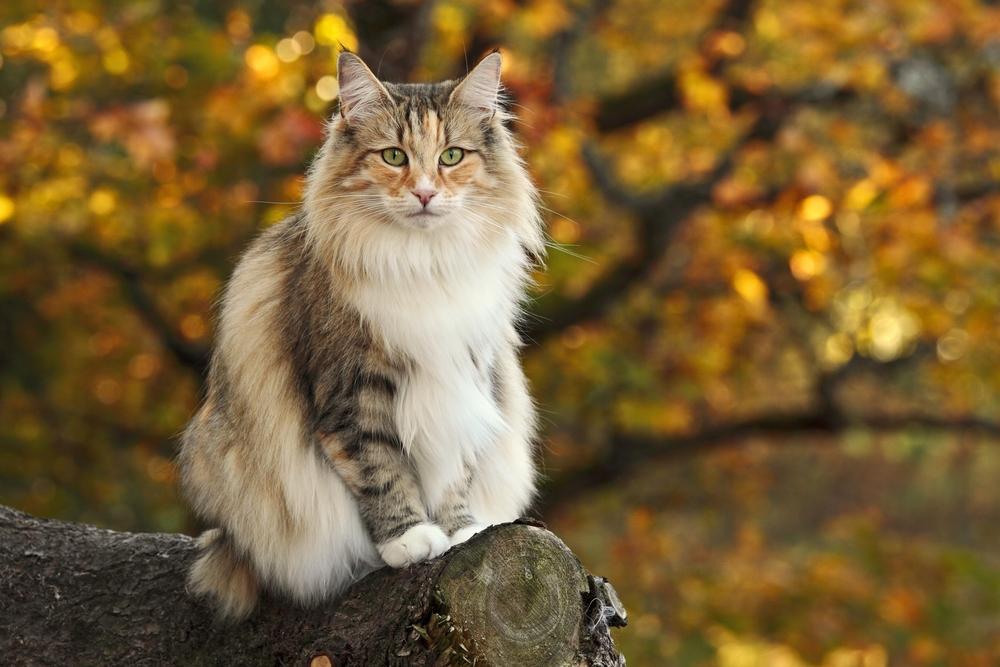 Rasseportrait Die Norwegische Waldkatze Charakter Eigenschaften