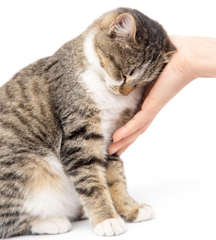 Wie erkenne ich, ob meine Katze trächtig ist? - DeineTierwelt Magazin