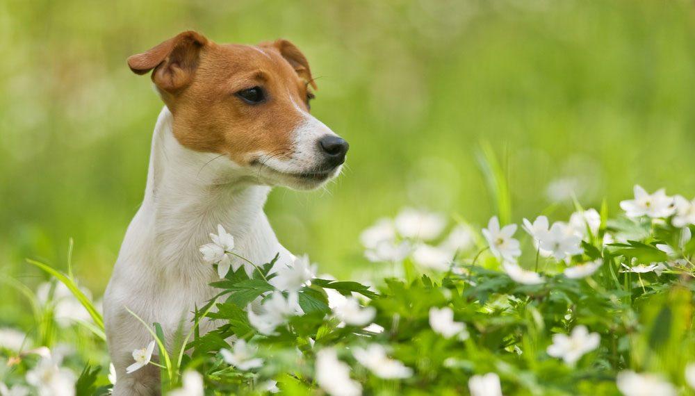 Rasseportrait: Jack Russell Terrier Charakter