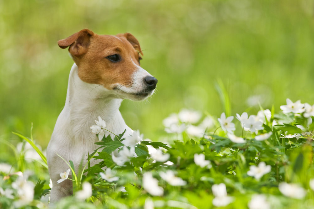 Jack Russell Terrier | tierisch