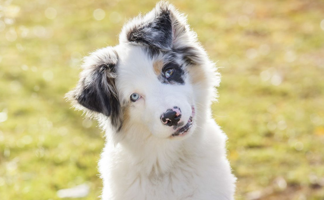 Rasseportrait Australian Shepherd Charakter Eigenschaften Deine Tierwelt De Magazin