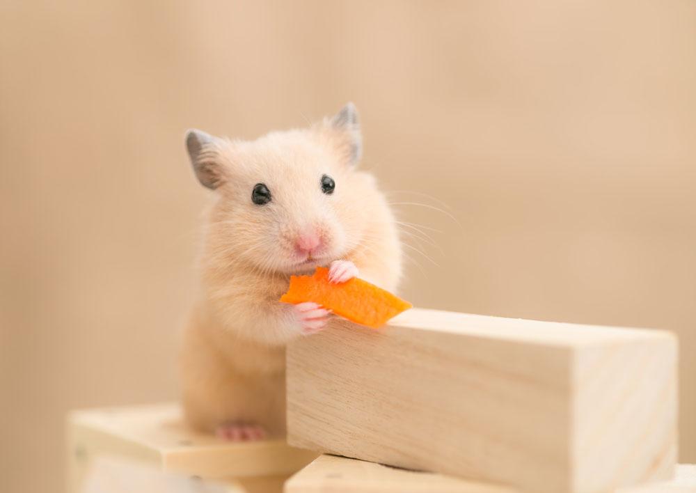 10 Hamster Arten Aus Aller Welt Wetten Dass Du Nicht Alle Kennst