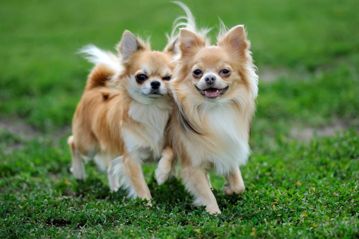 Chihuahua Wissenswertes Zur Kleinsten Rasse Der Welt Deinetierwelt