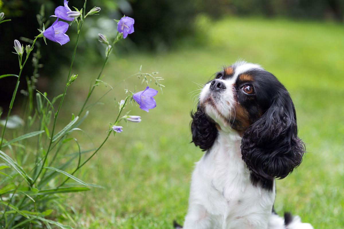 Hund schaut lila Blume an