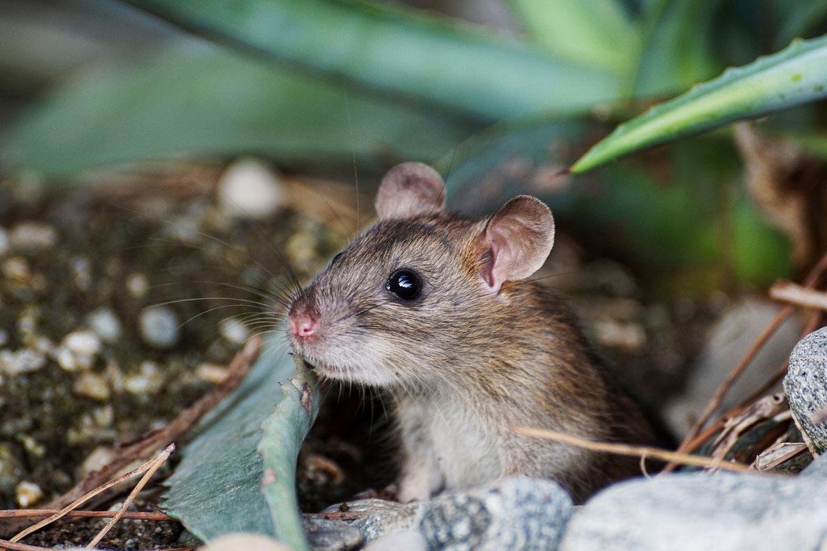 Mäuse Als Haustiere Das Müsst Ihr Wissen
