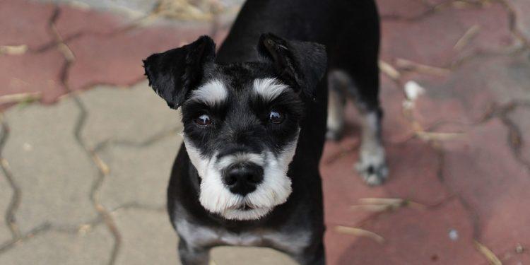Hund Im Kühlergrill