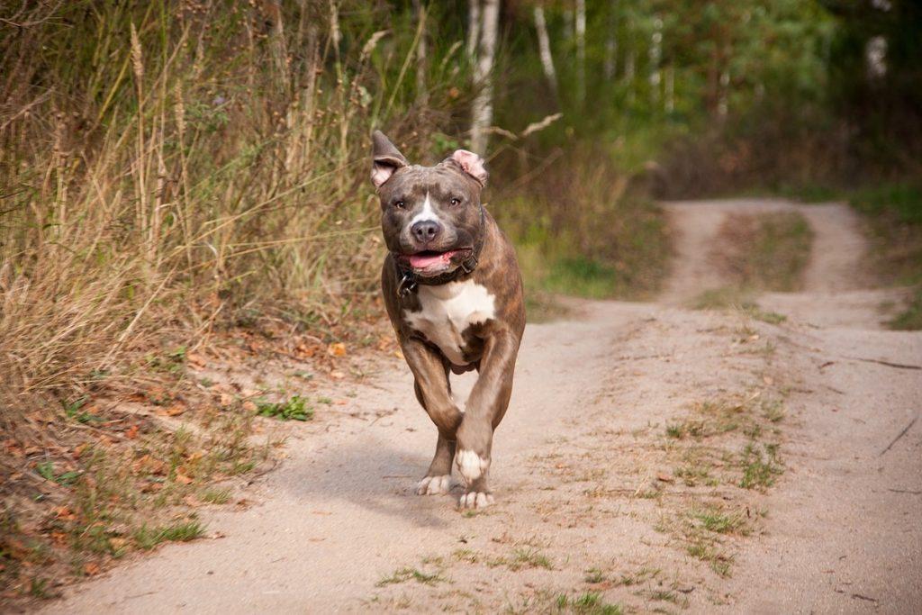 Verbotene Hunderassen In Deutschland Einfuhrbeschrankungen Co