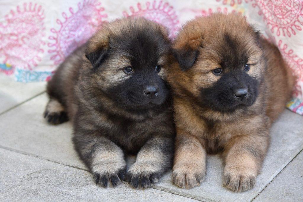Eurasier Familienhund Fur Alle Falle Im Rasseportrait Deinetierwelt