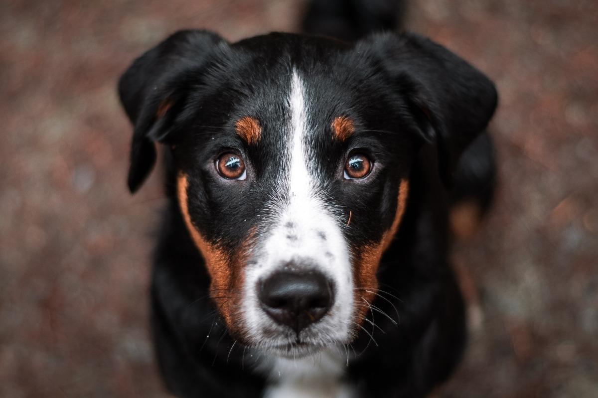 Appenzeller Sennenhund Der Schweizer Alpenhund Deinetierwelt
