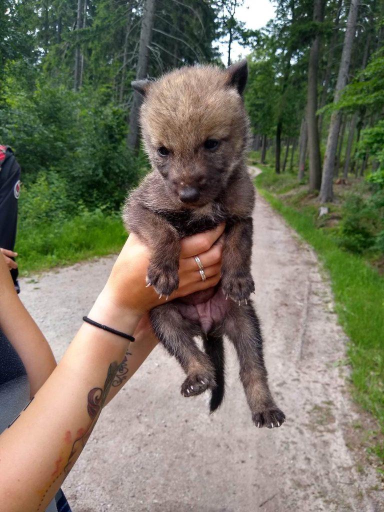 Sachsen Gefundener Baby Wolf Soll Wieder Ausgesetzt Werden