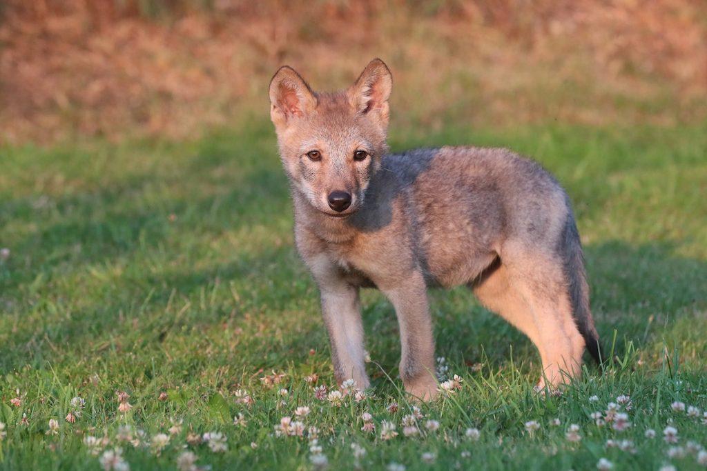 Lüneburg Baby Wolf Wird Jetzt Von Hündin Aufgezogen