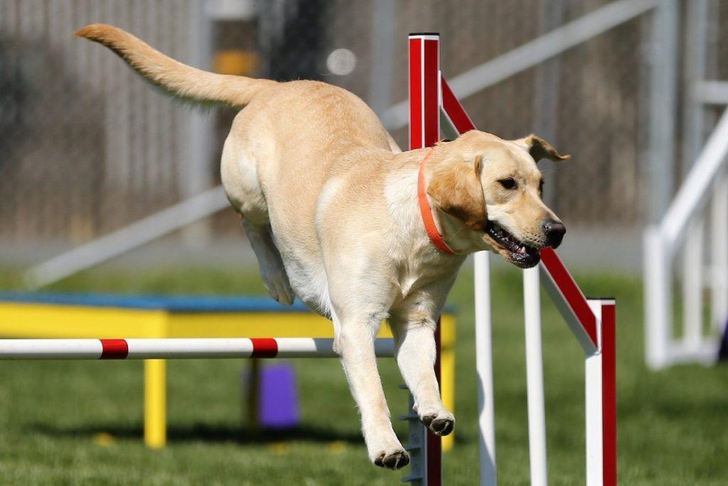Labrador Retriever Interessante Infos Im Rasseportrat Deinetierwelt